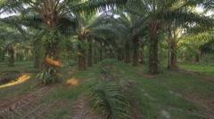 Palm oil tree plantation clip Stock Footage