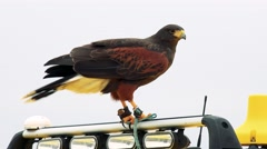 Bird Harris's hawk sits on the car roof Stock Footage