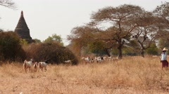 Shepherd with goats in Bagan of Myanmar - with Pagodas view Stock Footage