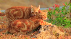two orange cat playing in park - stock footage