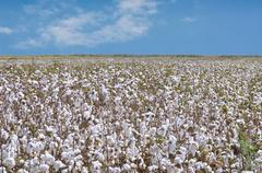 cotton plantation for industrial use - stock photo