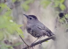 Gray Catbird Perching - stock photo