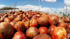 Farmers discard rot pomme grenade fruits which were not sold - stock footage