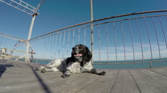 Dog resting in front of sea Stock Footage