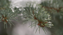 Macro Water Dripping off Snow Covered Pine Branch Stock Footage