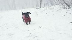 Black Dachshund runs toward camera in the snow - Slow Motion Stock Footage