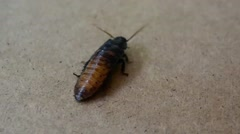 Cockroach Walking On a Wooden Surface Stock Footage
