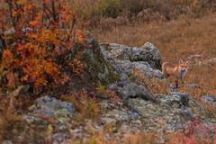 Red fox in taiga Stock Photos