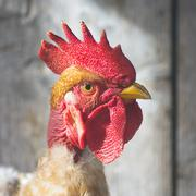 portrait about rooster - stock photo