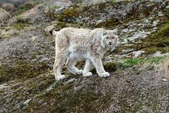White-gray lynx on rock Stock Photos