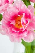 Blown pink tulip Stock Photos