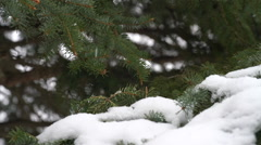 Snow flakes falling onto pine branch Stock Footage