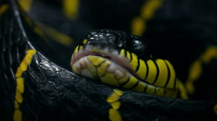 """Mangrove Snake"" or ""Yellow Ringed Cat Snake"" or ""boiga-dendrophila"". Stock Footage"