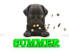 SUMMER  Bright word, Blackenning dog sort pug, golden coins on white backgrou Piirros