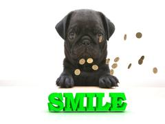 SMILE  Bright word, Blackenning dog sort pug, golden coins on white backgroun Piirros
