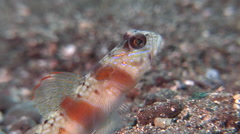 Red-margin shrimpgoby turning away on muck, Amblyeleotris rubrimarginata, HD, Stock Footage