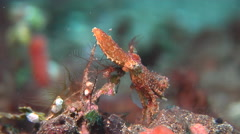 Blue ringed octopus on muck, Hapalochlaena sp., HD, UP24045 Stock Footage