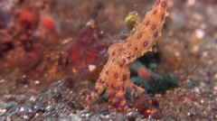Blue ringed octopus hunting on muck, Hapalochlaena sp., HD, UP24050 Stock Footage