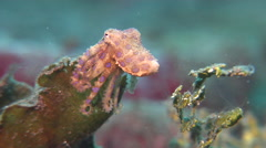 Blue ringed octopus on muck, Hapalochlaena sp., HD, UP24056 Stock Footage
