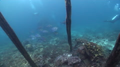 Bluefin trevally hunting and schooling on wharf, Caranx melampygus, HD, UP24137 Stock Footage