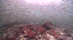 Yellowstripe scad swimming and schooling on shallow coral reef, Selaroides Stock Footage