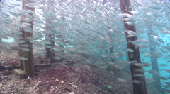 Yellowstripe scad swimming and schooling on wharf, Selaroides leptolepis, HD, Stock Footage