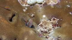 Bluestriped fangblenny nodding, Plagiotremus rhinorhynchos, HD, UP24187 Stock Footage