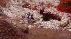 Acoel flatworm walking, Unidentified species, HD, UP24243 Stock Footage