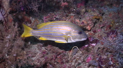 Adults and juveniles Cleaner wrasse cleaning and being cleaned on cleaning Stock Footage