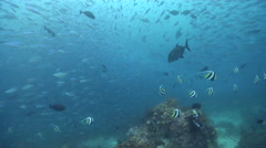 Ocean scenery loads of fusiliers, on deep coral reef, HD, UP24269 Stock Footage