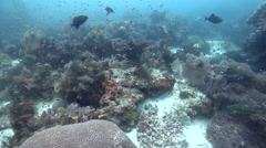 Ocean scenery anthias, fusiliers, parrotfish, hard and soft corals, fans, on Stock Footage