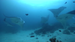 Reef manta ray swimming on cleaning station, Manta alfredi, HD, UP24290 Stock Footage