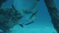 Humpback batfish cleaning and being cleaned, Platax batavianus, HD, UP24387 Stock Footage