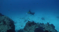 Reef manta ray swimming on cleaning station, Manta alfredi, HD, UP24400 Stock Footage