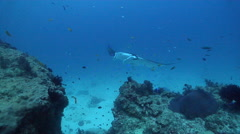 Reef manta ray cleaning and being cleaned on cleaning station, Manta alfredi, Stock Footage