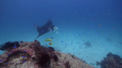 Reef manta ray swimming on cleaning station, Manta alfredi, HD, UP24406 Stock Footage