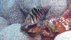 Spotted hawkfish jumping, Cirrhitichthys aprinus, HD, UP24414 Stock Footage