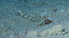 Slantbar shrimpgoby keeping lookout, Amblyeleotris diagonalis, HD, UP24415 Stock Footage