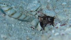 Slantbar shrimpgoby keeping lookout, Amblyeleotris diagonalis, HD, UP24417 Stock Footage