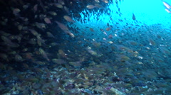 Cardinalfish swimming and schooling in cavern, Unidentified Species, HD, UP24435 Stock Footage