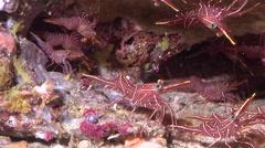 Hingebeak shrimp walking in cavern, Rhynchocinetes durbanensis, HD, UP24451 Stock Footage
