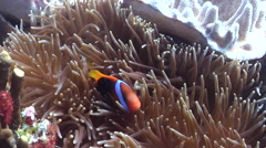 Red-and-Black anemonefish swimming, Amphiprion melanopus, HD, UP24536 Stock Footage