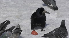 Pigeons and rooks lunch Stock Footage