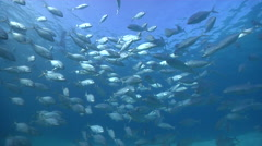 White trevally swimming and schooling in lagoon, Pseudocaranx dentex, HD, Stock Footage
