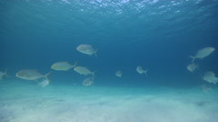 Golden trevally swimming and schooling in lagoon, Gnathanodon speciosus, HD, Stock Footage