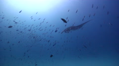 Reef manta ray swimming on cleaning station, Manta alfredi, HD, UP24600 Stock Footage