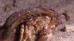 Banded eyestalk hermit crab on sand at night, Dardanus pedunculatus, HD, UP24613 Stock Footage