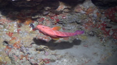 Coral cod gagging in cavern, Cephalopholis miniata, HD, UP24620 Stock Footage