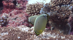 Redfin butterflyfish feeding, Chaetodon lunulatus, HD, UP24661 Stock Footage