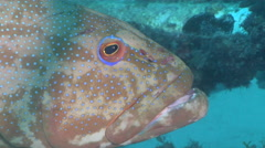 Coral trout looking around, Plectropomus leopardus, HD, UP24714 Stock Footage